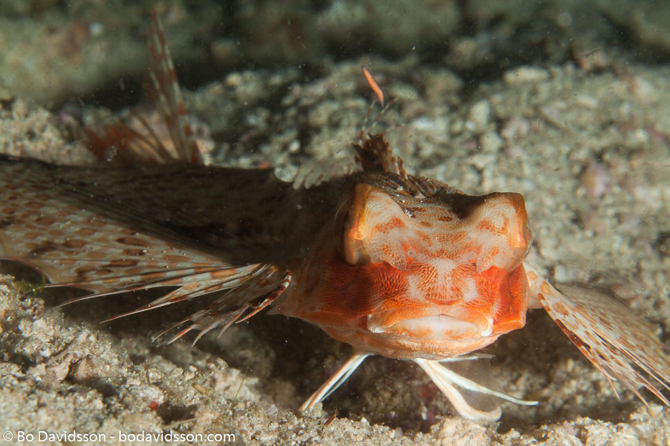 BD-141018-Komodo-5528-Dactyloptena-orientalis-(Cuvier.-1829)-[Oriental-flying-gurnard].jpg